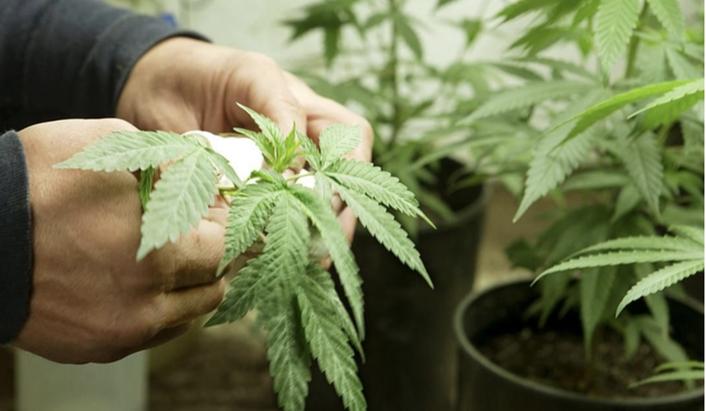 Cultiver-Marijuana-Conseils-Recyclage-Feuilles
