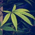 Quatre utilisations possibles pour vos feuilles de cannabis