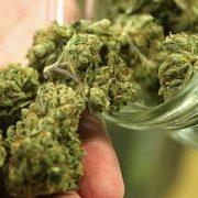 Guide: sécher et «affiner» votre cannabis correctement